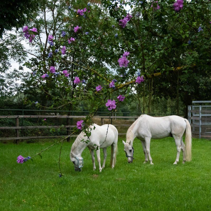 Paardenweitje naast terras en stapmolen